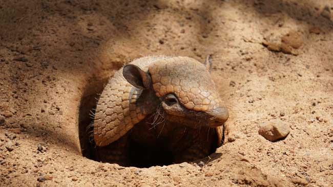 El armadillo puede permanecer hasta 6 minutos sin respirar