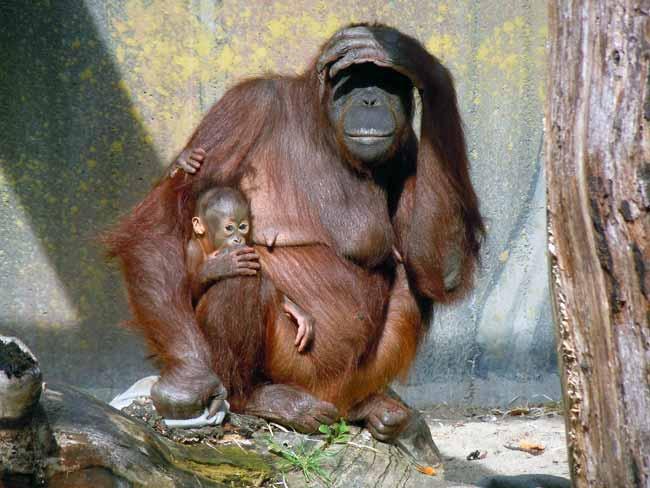 Los orangutanes transmiten conocimiento a las futuras generaciones