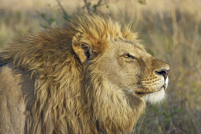 El león es uno de los animales más representativos de África
