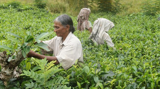 Cosecha de té en Skri Lanka